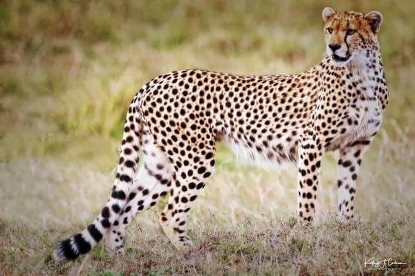 Cheetah Stance 2