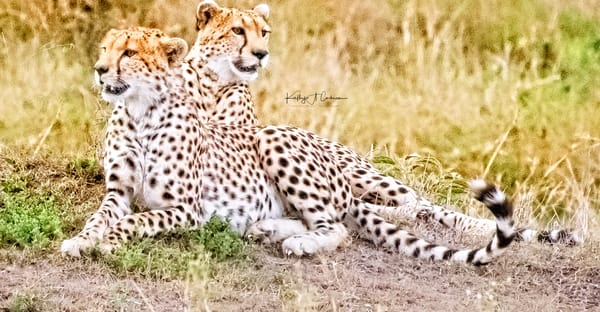 Cheetah Brothers Photography Art | Images2Impact