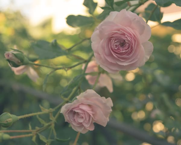 Floral rose fine art photographs for sale | Sage & Balm Photography