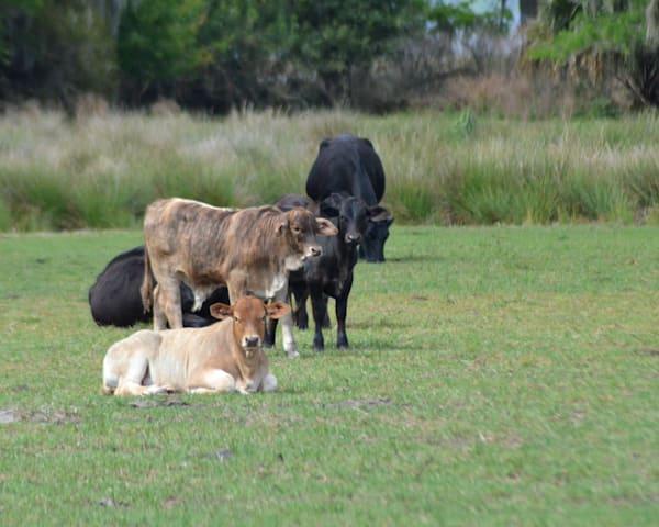 Calves Just Hanging Out l  |  June Bell Artist