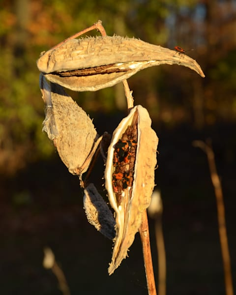 Milk Weed Pods and Bugs l