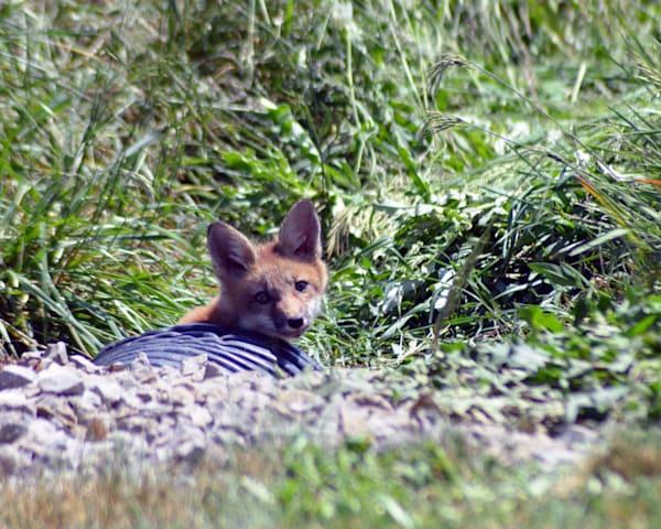Fox Kit Sneaking a Peak  |  June Bell Artist