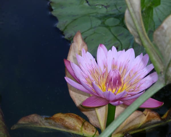 Shades of Magenta Water Lily  |  June Bell Artist