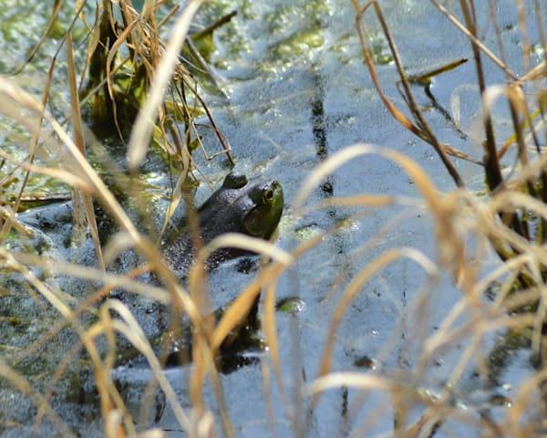 Frog in the Bog  |  June Bell Artist