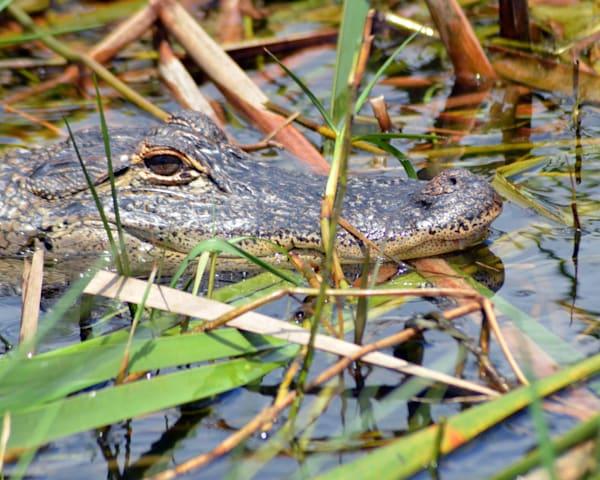 Boggy Creek Alligator I Art | Bellz Artistry