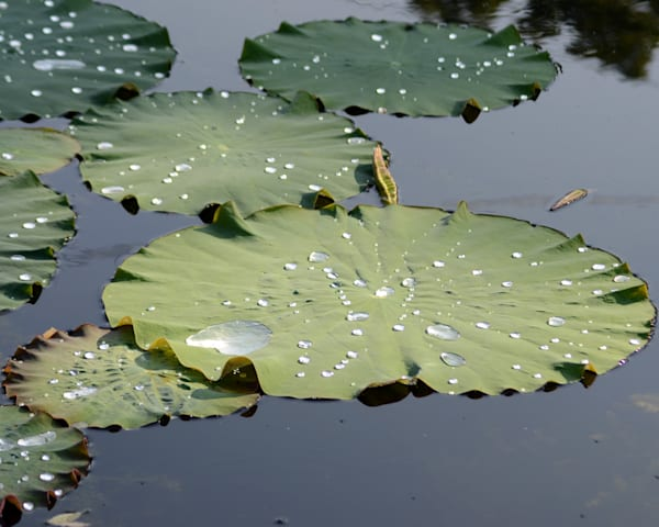 Giant Water Lily Leaves With Water Drops I Art | Bellz Artistry