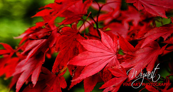 Fall Red:  Shop Fine Art Photography | Jim Wyant, Master Craftsman (317)663-4798