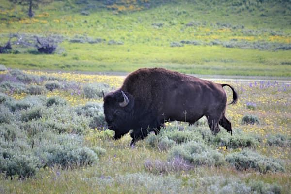 Photograph of a Bison with Spring Flowers for sale as Fine Art