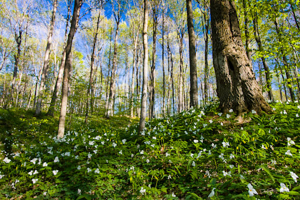 Carpet of spring wildflowers, including Large-flowered Trillium (Trillium grandiflorum) and Large-flowered Bellwort (Uvularia grandiflora), Arcadia Dunes: The C.S. Mott Nature Preserve