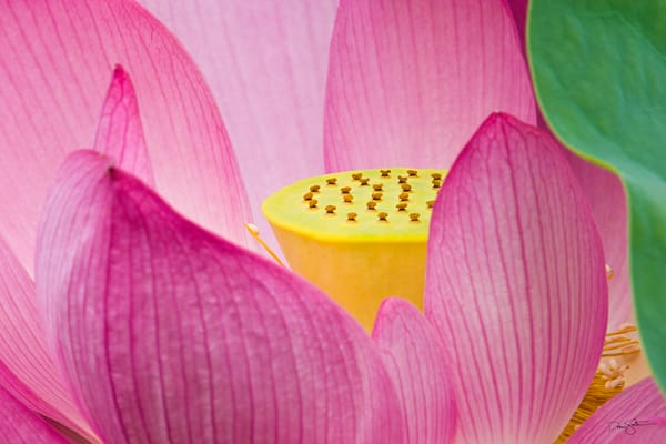 Detail of a Sacred Lotus blossom (Nelumbo nucifera)
