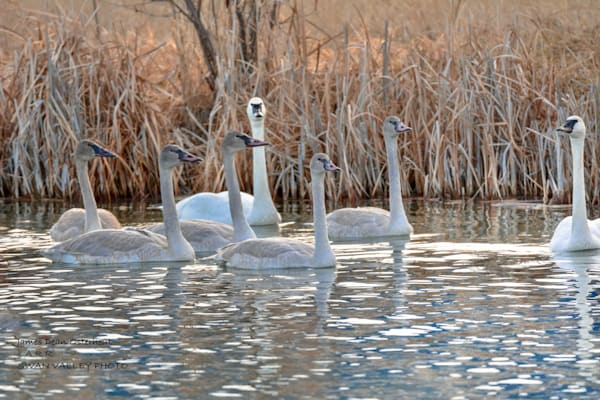 Swan Valley Swans Photography Art | Swan Valley Photo