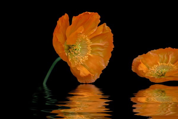 poppy flowers, water, flower petals, art photographs, flower stems, circles, orange and black,