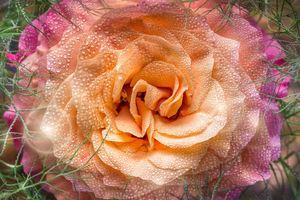variegated, rose, flower, dew, water, macro, petals, lights, grass,