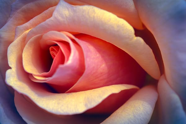 rose, flower, macro, close, detailed, blossom,