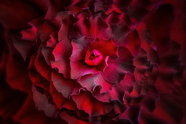 red begonia macro flower