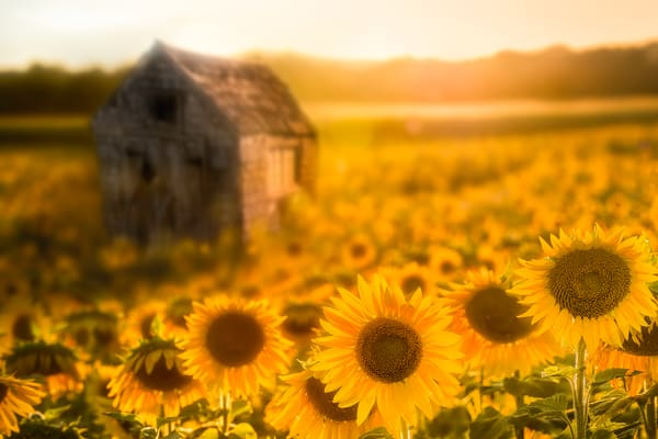 wood shack standing in the middle of a sunflower field