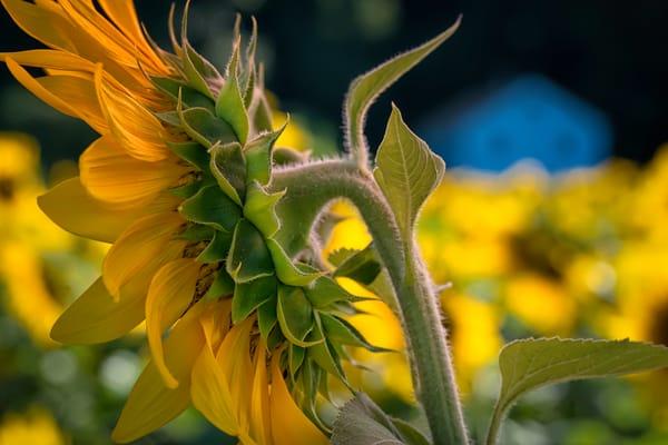 sun flowers, field of flowers, hut, stalks and petals of sunflowers, seeds and petals of art photographs,