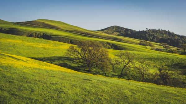 Rolling Mustard Hills