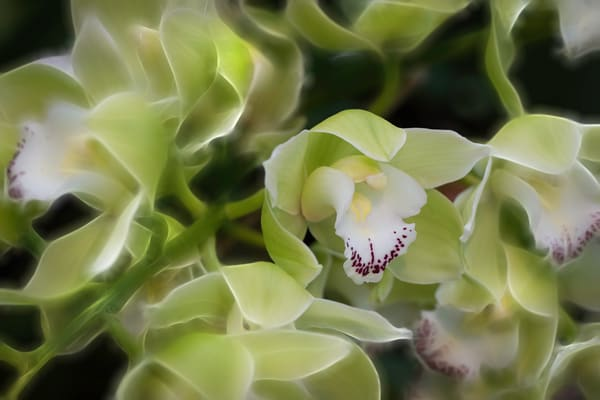 orchid artwork photos and prints | Brad Oliphant Photography