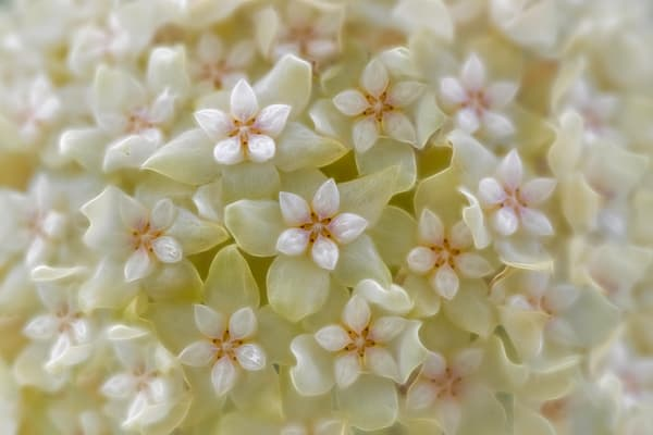 hoya bella white orchids flowers