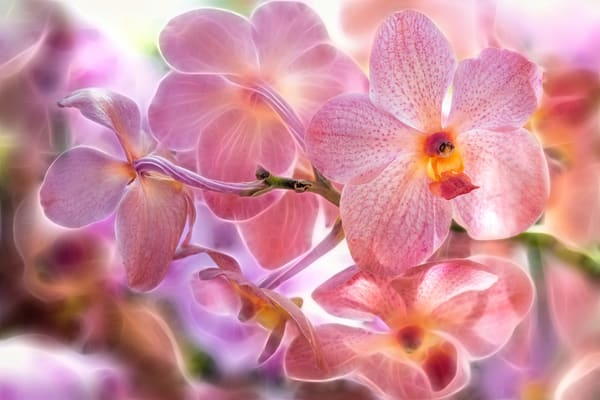 orchid blossoms, fine art, electricity art, flowers photographs, pink and yellow orchids, art photogrpahs,