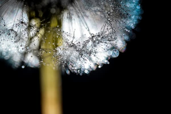 flower, dew, water, dandelion, mist, stem, seeds, art photographs of macro flowers,