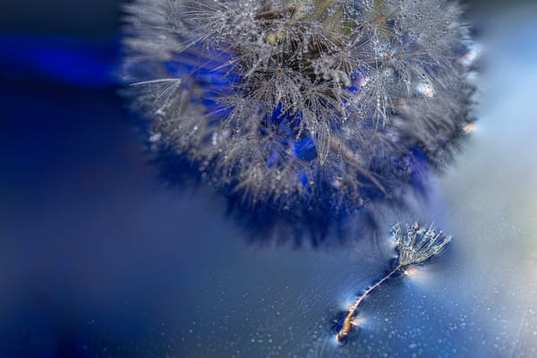 dew, water, reflection, dandelion, flowers covered in mist, art photographs of dandelion flowers,