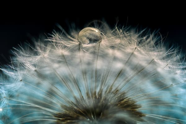 flower, white, seeds, dandelion weeds, mist, wet dew, water drops, macro photography, art flowers,