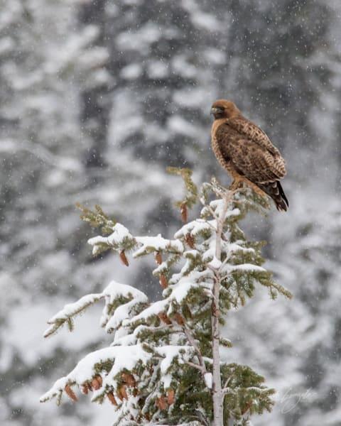 snowyhawk