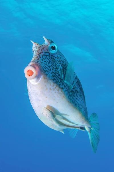 UW 383: Honeycomb Cowfish, Key Largo, Florida
