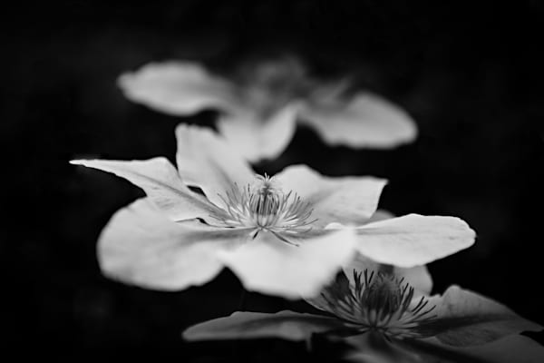 Sacred Path Clematis