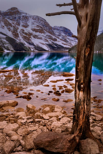 Peyto Lake Tree. Canadian Rockies|Banff National Park|Rocky Mountains|