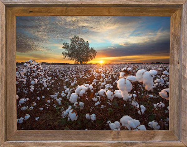 "Land of Cotton (12"" x 16"" Framed Canvas Board)"
