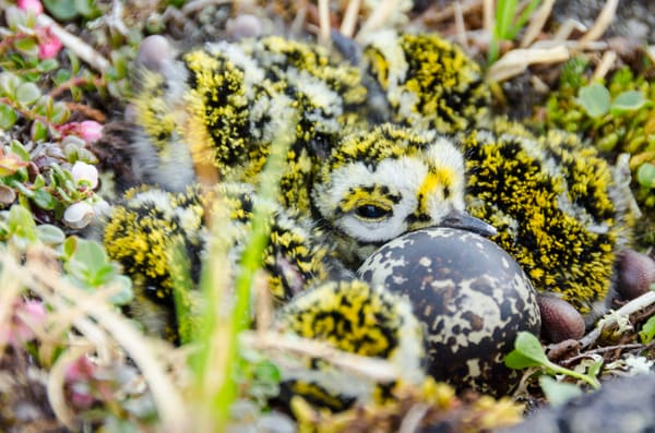 American Golden Plover (Pluvialis dominica) chicks in a nest in Nunavut, Canada