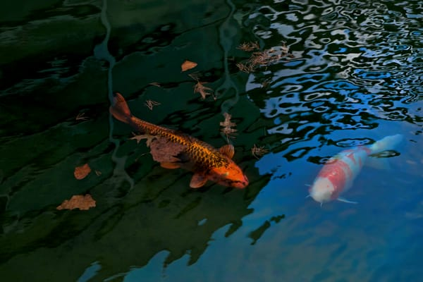 Koi fish swimming, Japanese art, Expensive fish to buy, revered, water photographs,