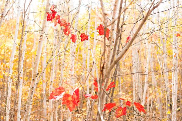 Maple Understory