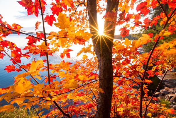 Lakeside Maple