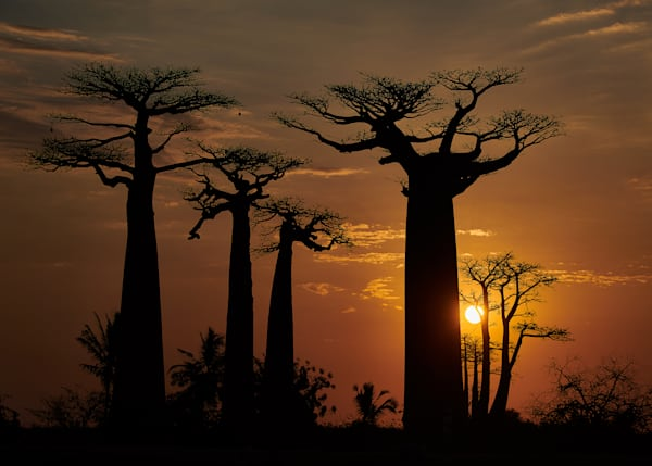 Classic sunset at Beobab Alley in Madagascar.