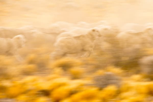 A domestic sheep on the move, Argentina