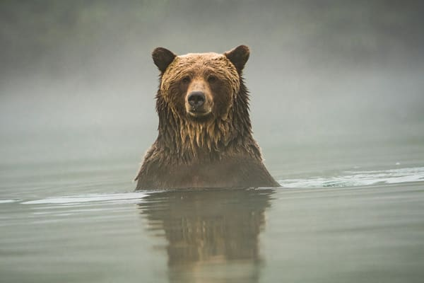 Grizzly bear, Chilko River, BC
