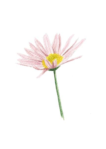 Korean Chrysanthemum
