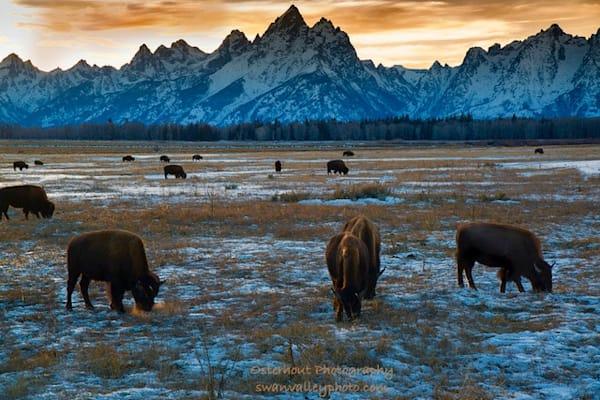 Where The Buffalo Roam Photography Art | Swan Valley Photo