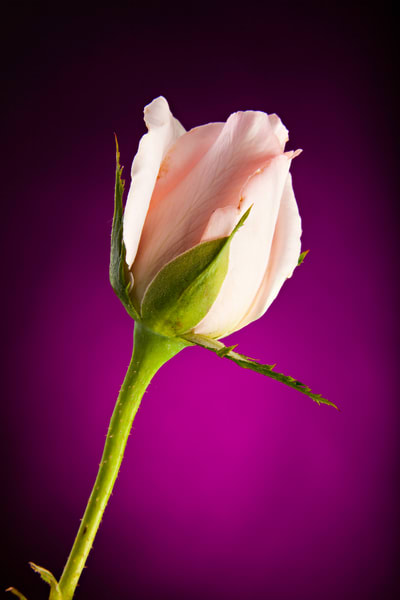 Soft Pink Rose on Deep Pink Background 0637.00
