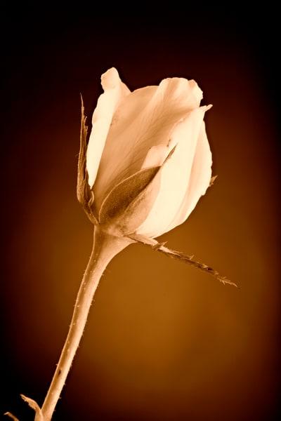 Sepia Rose Bud 0637.00