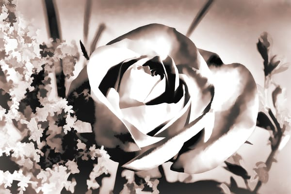 Single Open Rose flower in Sepia 3186.01