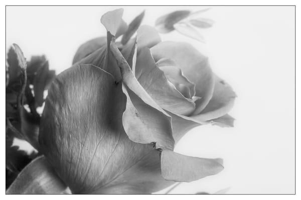 Rose Flower 8013.01