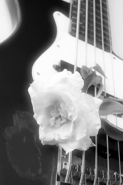 Rose on guitar Image strings in black and white 1174v