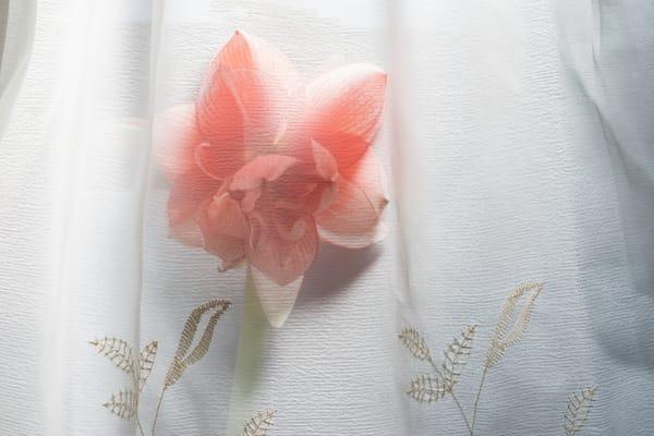Art photographs of red amaryllis, amaryllis flowers, photographs of artistic amaryllis flowers,