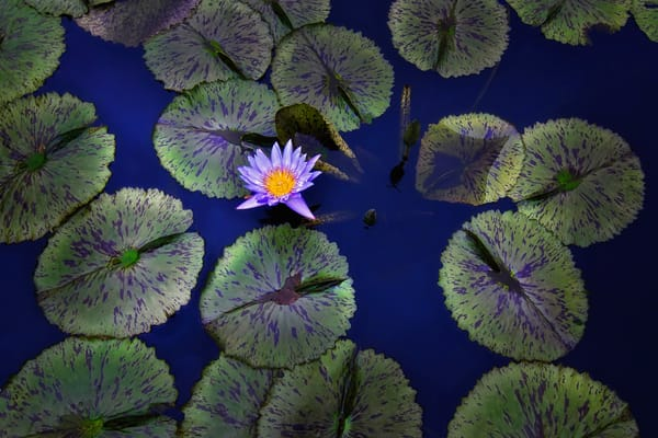 Scenic art photographs, lily pad photography, botanical photographs of lotus flowers,