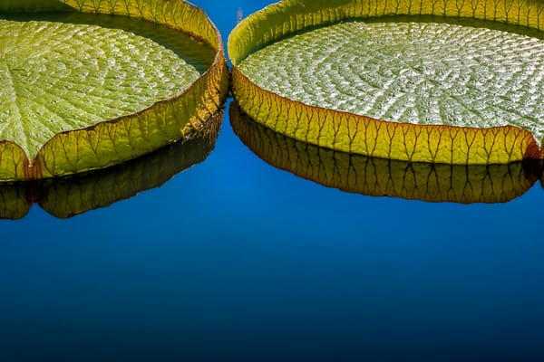 Victoria lily pads, botanical photographs of reflective ponds, huge and giant lily pads,